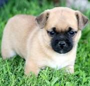adorable pupg puppies ready for a new home