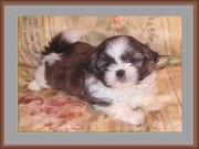 shi tzu puppy age 9 weeks