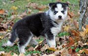 Cute And Well Trained Siberian Husky Puppies