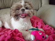 adorable Shih Tzu puppy for adoption.